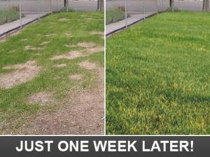before and after our Davie sprinkler repair team fixes a lawn coverage issue